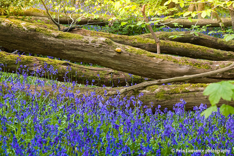Bluebells-and-fallen-trees-spring