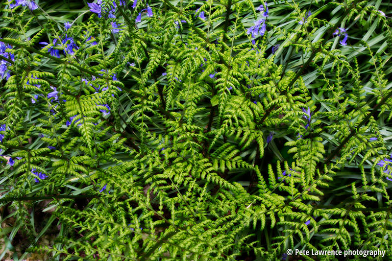 Bluebells-and-ferns-pattern