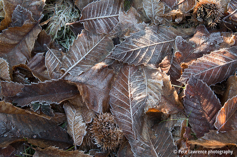 Leafs-in-the-frost