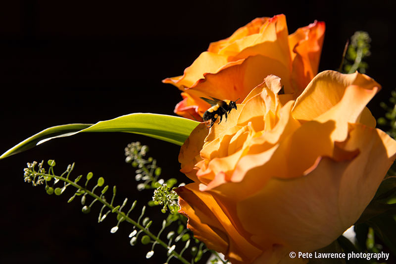 Rose-and-Bee