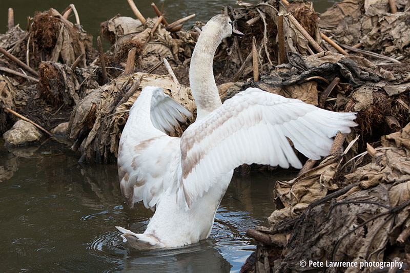 swan-flapping-wings